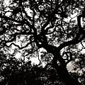 Black Jack Oak by Marilyn Hunt