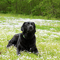 Black Lab Laying In A Field by Steven Kornfeld