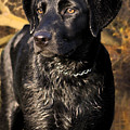 Black Labrador Retriever Dog by Cathy Beharriell