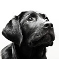 Black Labrador Retriever Potrait by Mike Trueman