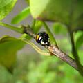 Black Ladybug 6136 by Murielle Sunier