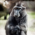 Black Macaque Monkey Sitting by Arletta Cwalina