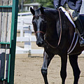 Black Morgan Horse Hunter Jumper by Waterdancer