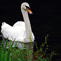 Black Mountain Swan by James Harris