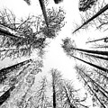 Black N White Sky-trees by Rick Pham