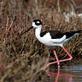 Black Necked Stilt . 7d4999 by Wingsdomain Art and Photography