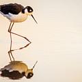 Black-necked Stilt by Emily Bristor