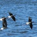 Black-necked Stilts In Flight - 2 by Christy Pooschke