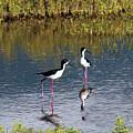 Black-necked Stilts by Patricia Griffin Brett