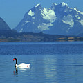 Black Necked Swan On Last Hope Sound Chile by James Brunker