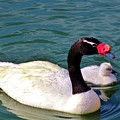 Black-necked Swan With Baby by Cynthia Guinn