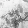 Black Oak Branches And Mistletoe In Fog by Alexander Kunz