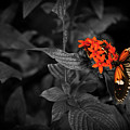 Black-orange Butterfly by Ilari