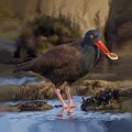 Black Oyster Catcher by David Wagner