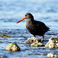 Black Oystercatcher Among The Rocks by Sue Harper