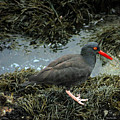 Black Oystercatcher by Deana Glenz