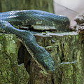 Black Rat Snake by Ronnie Maum