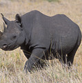 Black Rhino On The Masai Mara by Sandra Bronstein