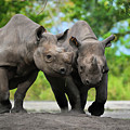 Black Rhinoceroses by Olga Hamilton