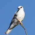 Black-shouldered Kite  by Tony Brown