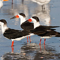 Black Skimmer Birds by Chris Scroggins