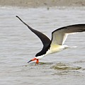 Black Skimmer by Lorelei Galardi