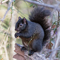 Black Squirrel 1 by Chris Scroggins