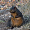 Black Squirrel 2 by Chris Scroggins