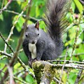 Black Squirrel In The Cherry Tree by Valerie Ornstein