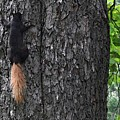 Black Squirrel With Blond Tail Two  by Lyle Crump