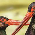 Black Storks Jerez De La Frontera Spain by Pablo Avanzini