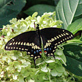 Black Swallowtail 2 by Pete Federico