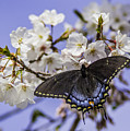 Black Swallowtail Butterfly by Allen Nice-Webb