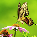 Black Swallowtail Butterfly by Ben Graham
