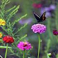 Black Swallowtail Butterfly In August  by Karen Adams