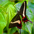Black Swallowtail Butterfly In Iguazu Falls National Park-brazil  by Ruth Hager