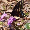 Black Swallowtail Butterfly by Nicole I Hamilton