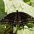 Black Swallowtail Butterfly On A Borage Leaf by MM Anderson