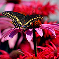 Black Swallowtail Butterfly On Coneflower Square by Karen Adams