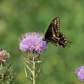 Spicebush Swallowtail Butterfly by Sandy Keeton