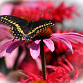 Black Swallowtail Butterfly With Coneflower And Monarda by Karen Adams