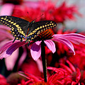 Black Swallowtail Butterfly With Coneflowers And Bee Balm by Karen Adams