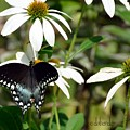 Black Swallowtail by Debra Bender