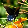 Black Swallowtail by Margaret G Calenda