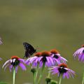Black Swallowtail by Maria Keady