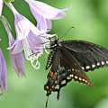Black Swallowtail by Mike Dickie