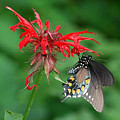Black Swallowtail On Bee Balm by Alan Lenk