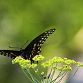 Black Swallowtail by Pete Federico