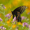 Black Swallowtail by Robert Frederick