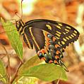 Black Swallowtail by Thomas Kaestner